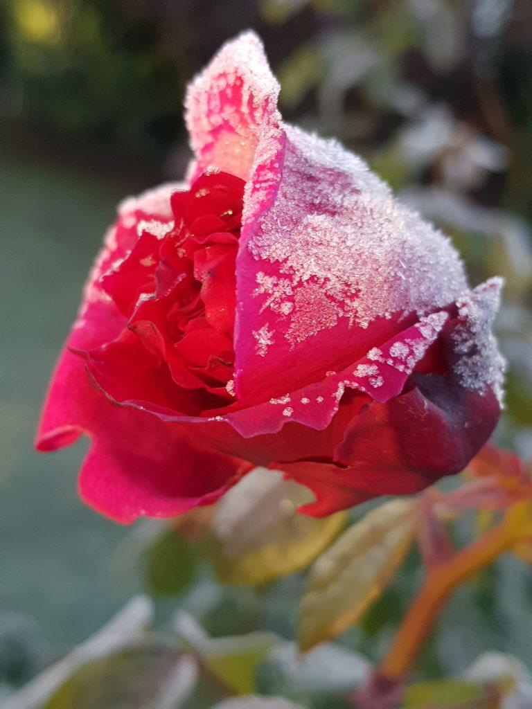 Rose mit Eisschicht